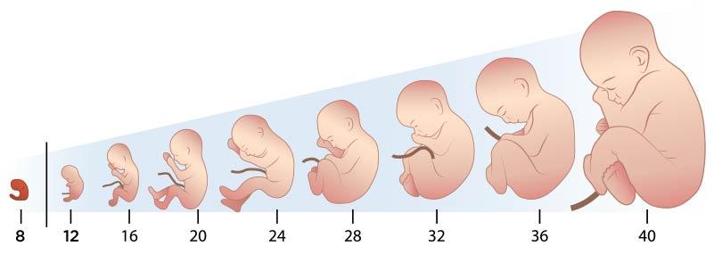 Como es mi bebe a las 28 semanas de gestacion