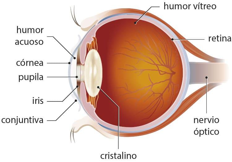 1afe70ad3f Las partes del ojo • Portal de Salud
